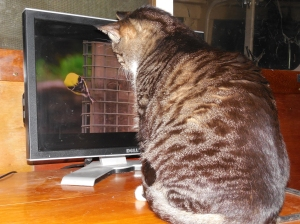My kitty watches videos.
